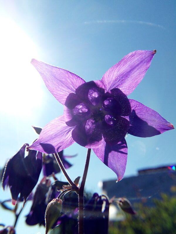 Paarse Akelei in de zon