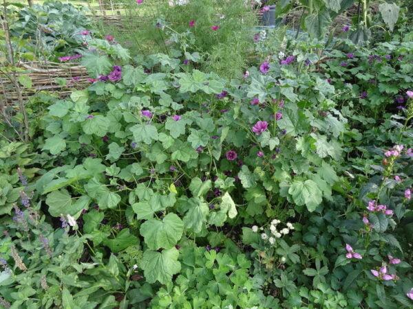Groot Kaasjeskruid in tuin