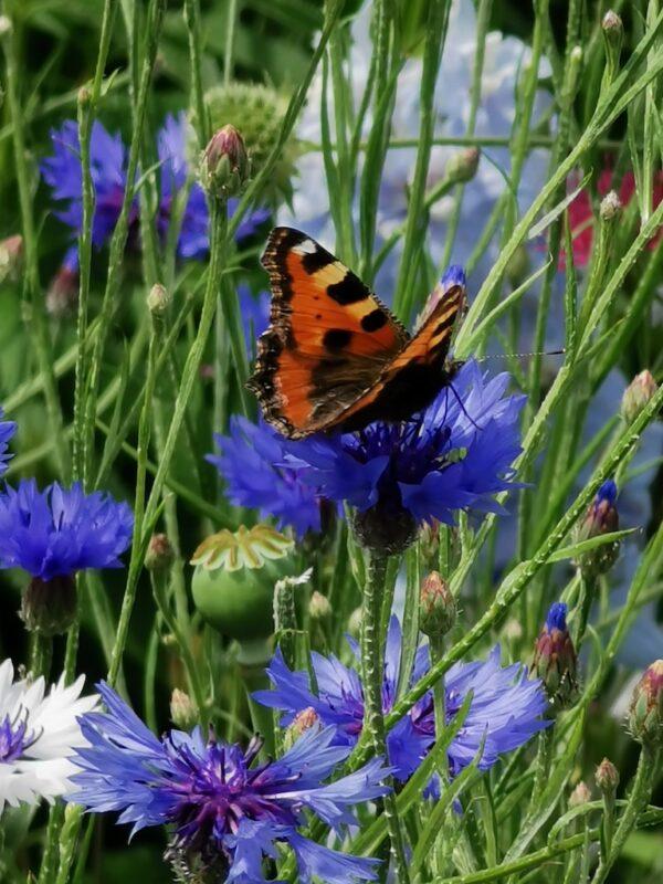Korenbloem met vlinder