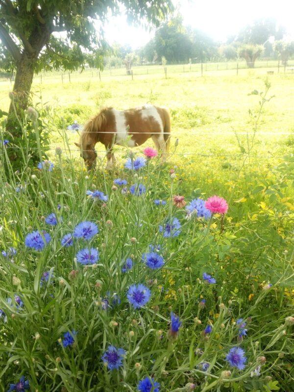 Korenbloem bij de wei met paardje
