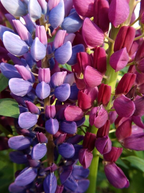 Paarse en roze Lupine close-up
