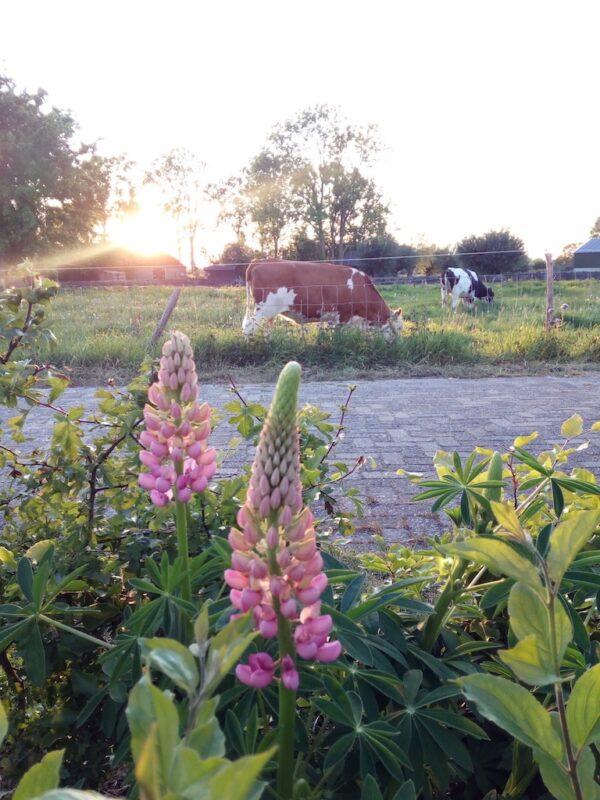 Roze lupines met koeien in de wei