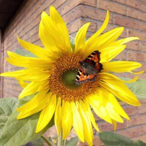 Reuzezonnebloem met vlinder