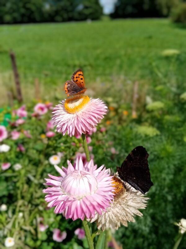 Strobloem met vlinder