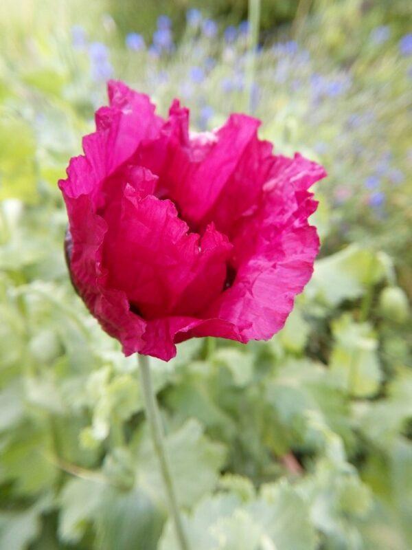 Roze Papaver close-up