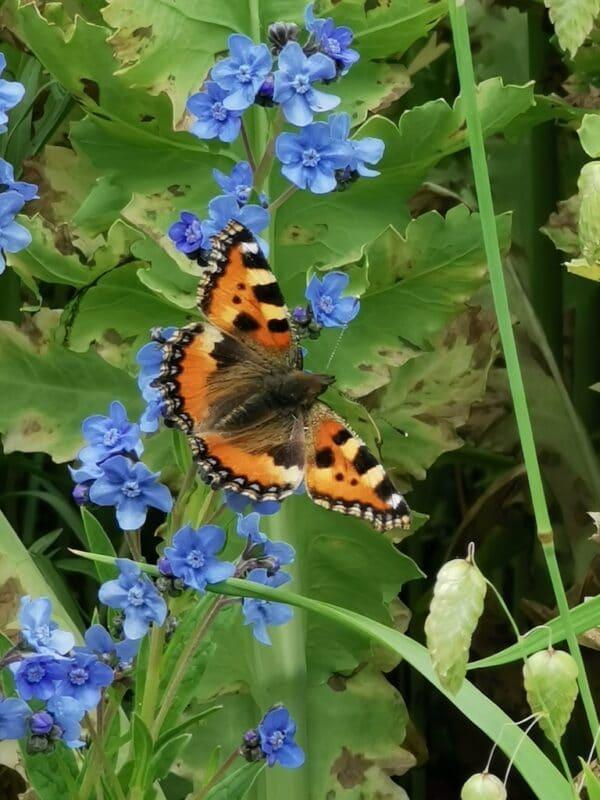 Chinees vergeet me nietje met vlinder
