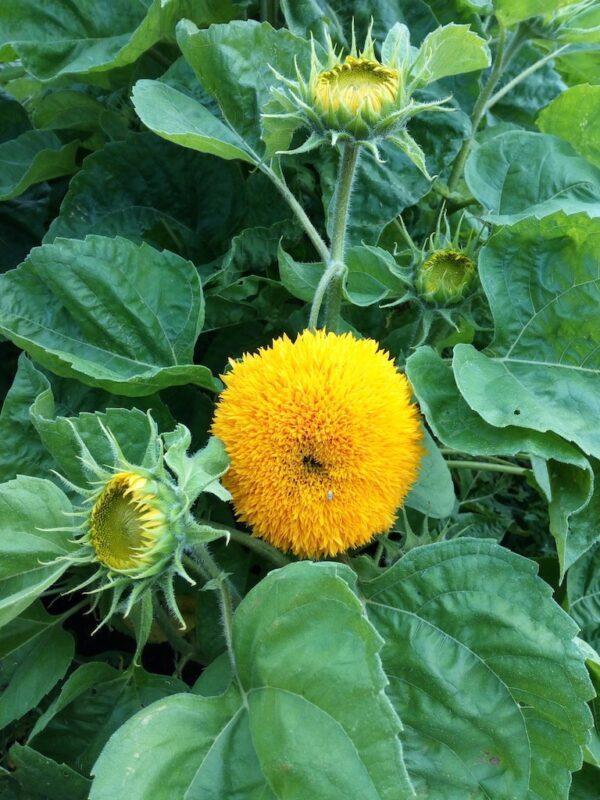 Gevulde dwergzonnebloemen