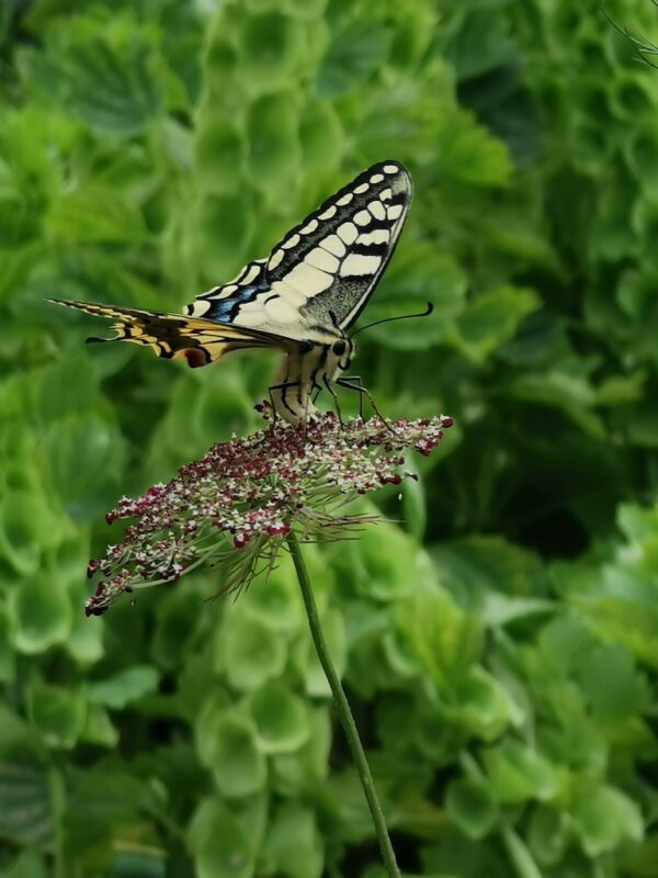 Sierpeen met vlinder