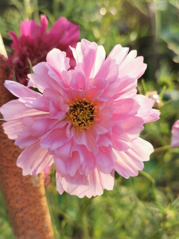 Cosmea zacht roze