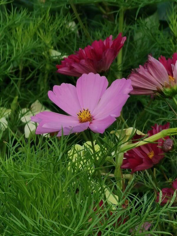 Cosmea roze tinten