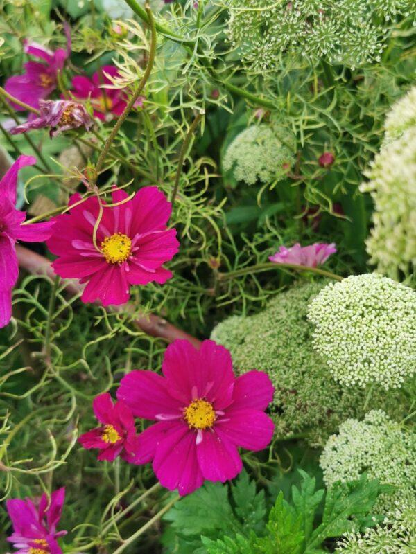 Cosmea in de tuin