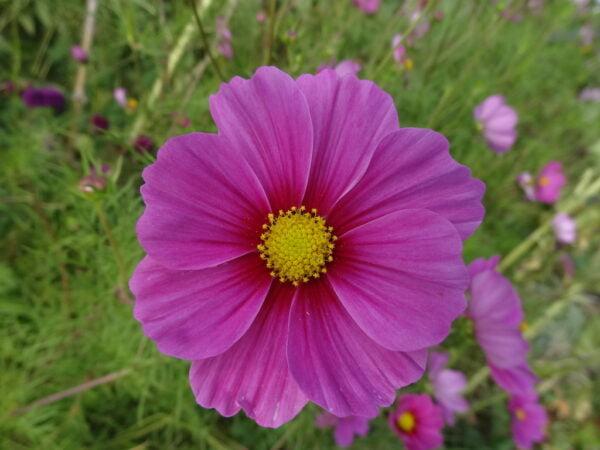 Cosmea roze