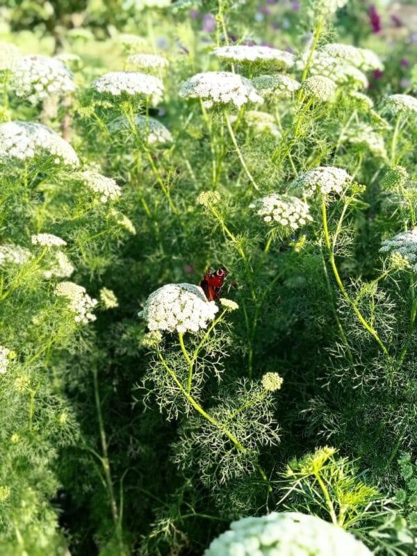 Fijn Akkerscherm met vlinder