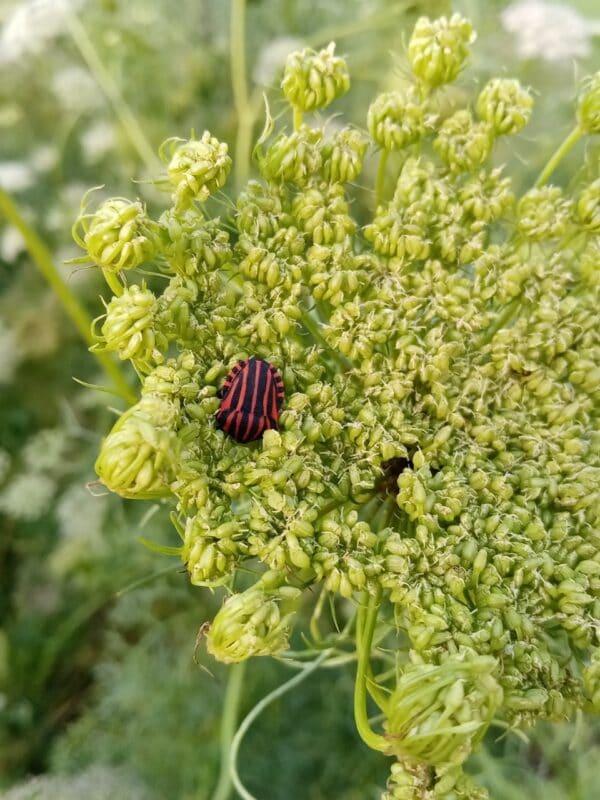 Fijn Akkerscherm met insect