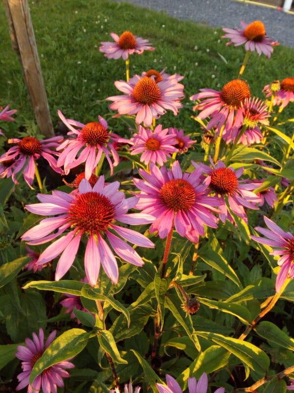 Zonnehoed bloemen