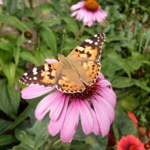 Zonnehoed met vlinder