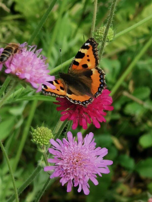Beemdkroon met vlinder