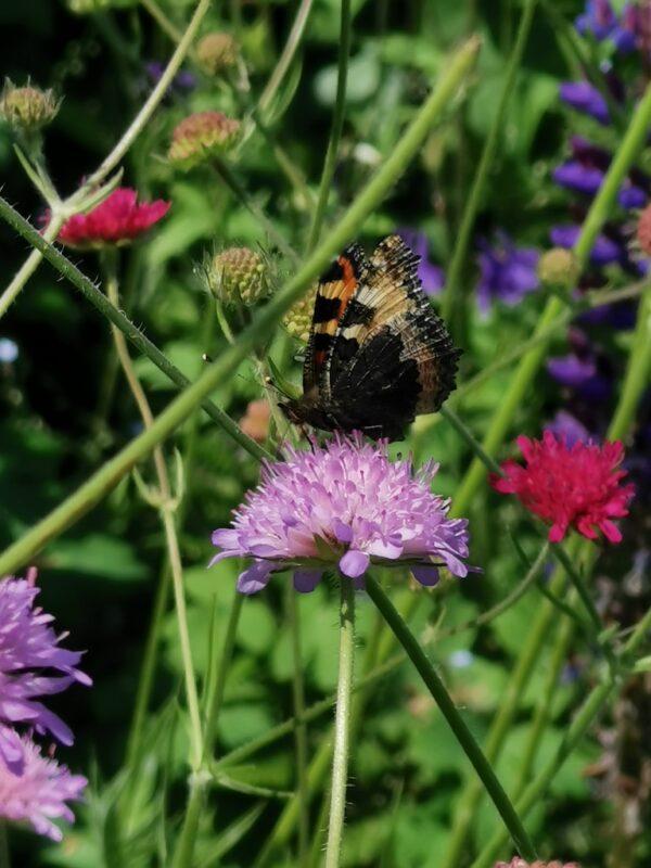Beemdkroon paars met vlinder