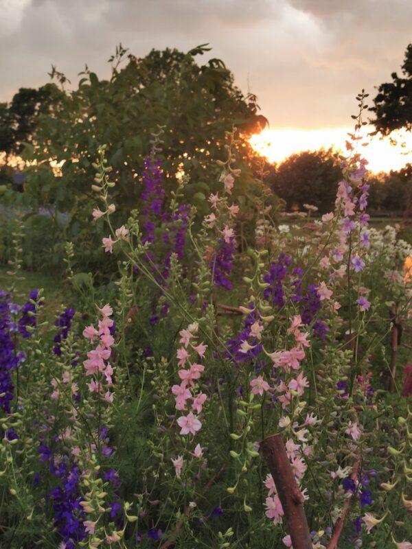 Ridderspoor 1 met zonsondergang