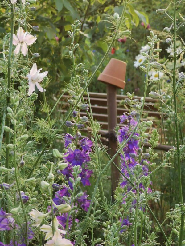 Ridderspoor in tuin