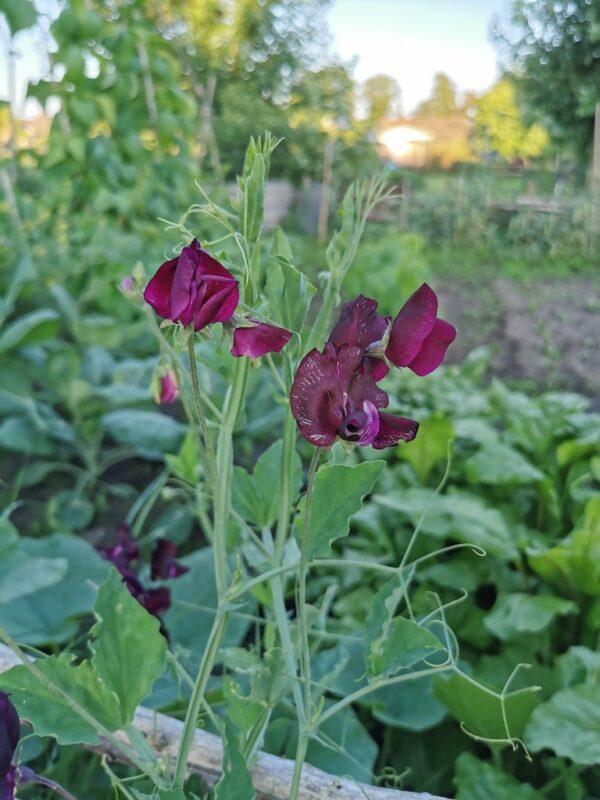 Siererwt in de tuin