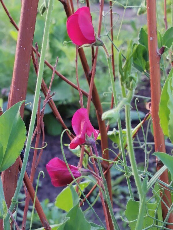 Siererwt roze