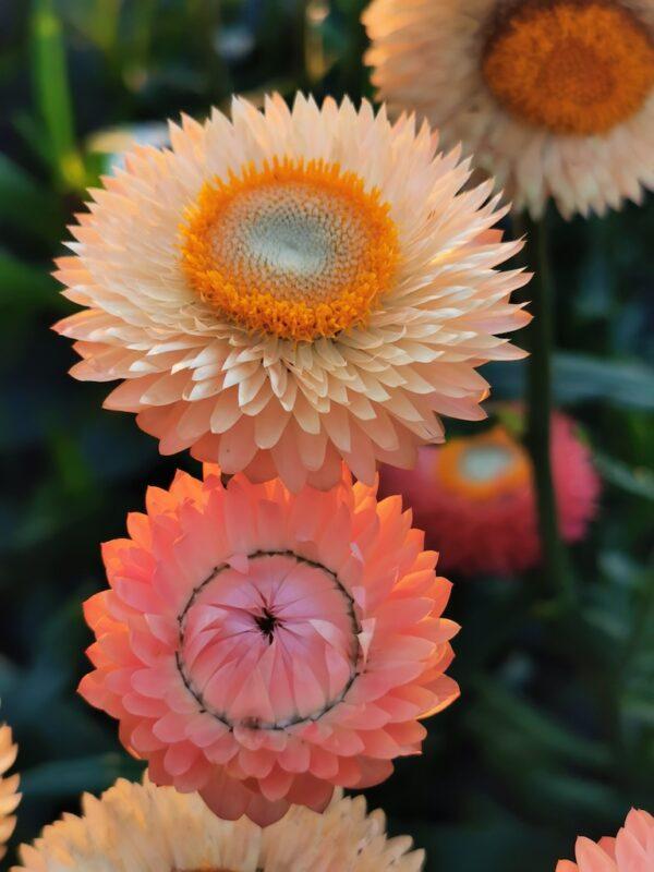 Strobloemen Zalmtinten