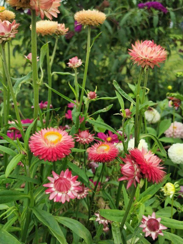 Strobloemen in de tuin kleurig