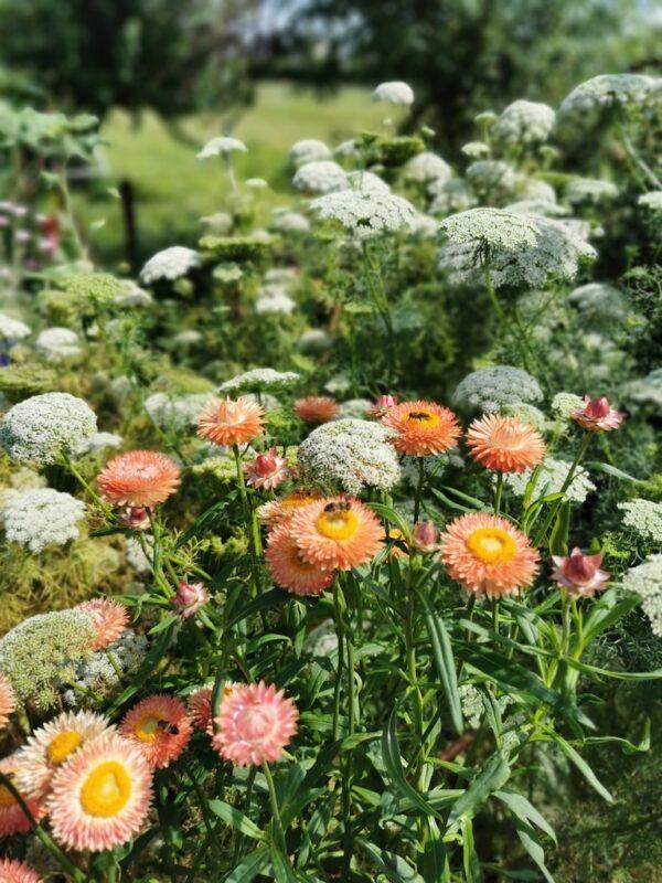 Strobloemen zalm in de tuin