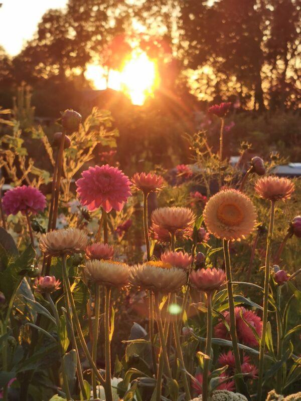 Strobloemen zonsondergang