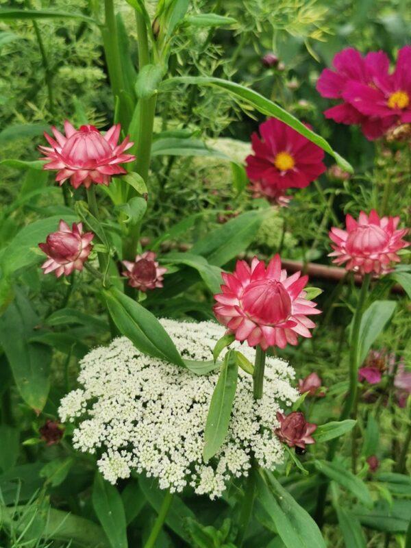 Strobloemen in de tuin