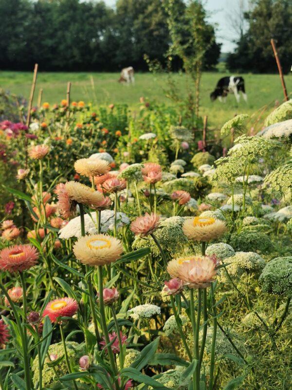 Strobloem in de tuin voor weiland